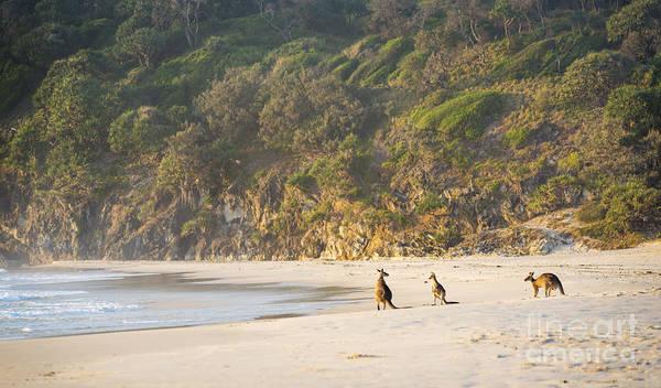Skippy Wall Art - Photograph - Kangaroos On Beach At Dawn by Tim Hester