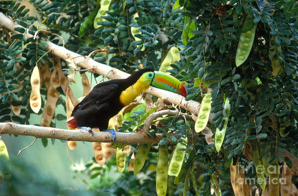 Ramphastidae Photograph - Keel-billed Toucan by Art Wolfe