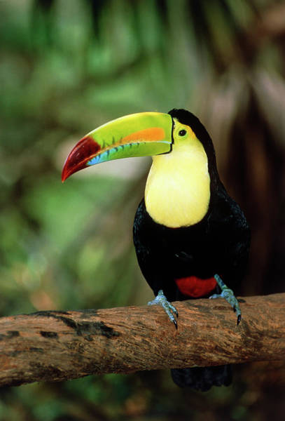 Bird In Tree Photograph - Keel-billed Toucan (ramphastos Sulfuratus) In Tree by William Ervin/science Photo Library