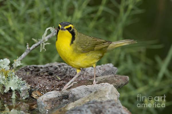 Parulidae Photograph - Kentucky Warbler by Anthony Mercieca