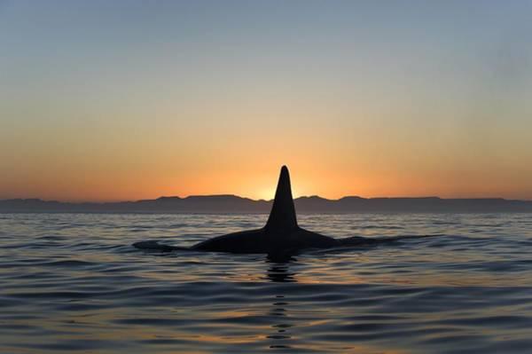 Killer Whales Wall Art - Photograph - Killer Whale Breaching by Christopher Swann