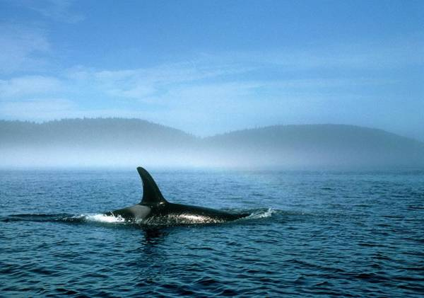 Dorsal Wall Art - Photograph - Killer Whale Fin by William Ervin/science Photo Library