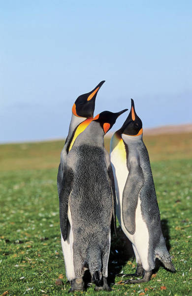 Antic Photograph - King Penguin (aptenodytes Patagonica by Martin Zwick