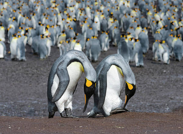 Courtship Display Photograph - King Penguin (aptenodytes Patagonicus by Martin Zwick