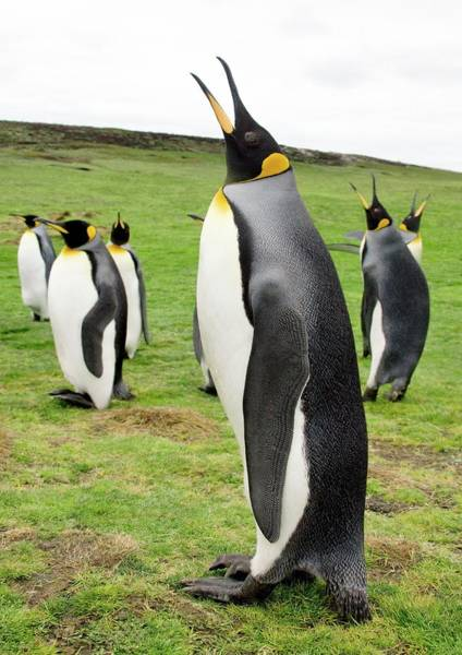 King Penguin Wall Art - Photograph - King Penguin by Steve Allen/science Photo Library