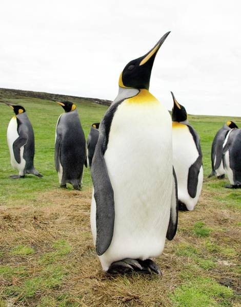 King Penguin Wall Art - Photograph - King Penguins by Steve Allen/science Photo Library