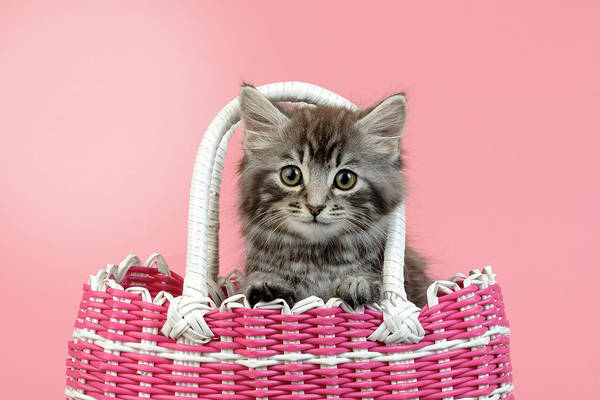 Wall Art - Painting - Kitten In Pink Basket by MGL Meiklejohn Graphics Licensing