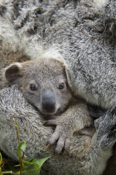 Photograph - Koala Joey In Mothers Arms Australia by Suzi Eszterhas