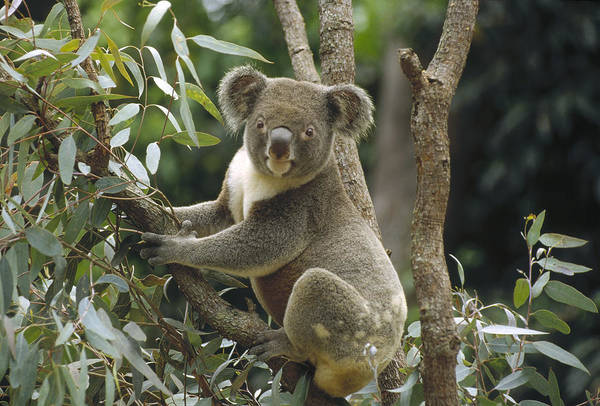 Photograph - Koala Male In Eucalyptus Australia by Gerry Ellis