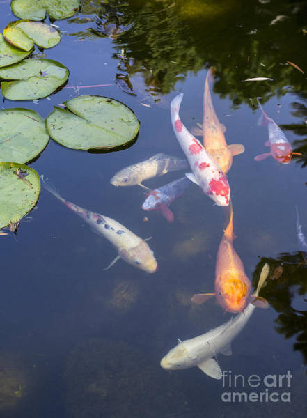 Ornamental Fish Photograph - Koi And Lily Pads - Beautiful Koi Fish And Lily Pads In A Garden. by Jamie Pham