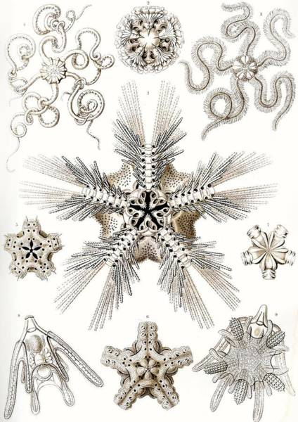 Zoological Wall Art - Painting - Kunstformen Der Natur by Ernst Haeckel