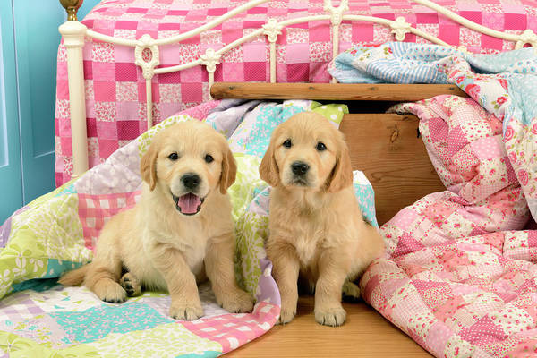 Wall Art - Painting - Labrador Puppies Pink Bed by MGL Meiklejohn Graphics Licensing