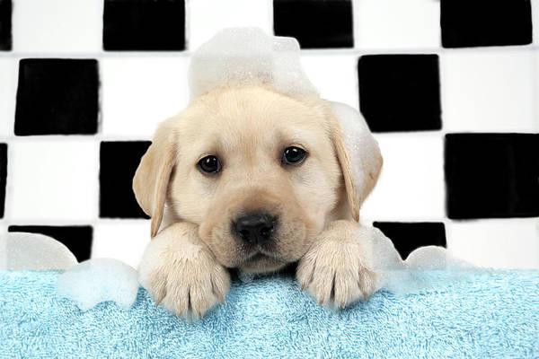 Naughty Dog Wall Art - Photograph - Labrador Puppy In Bath by John Daniels