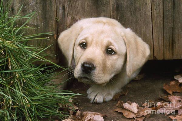 Naughty Dog Wall Art - Photograph - Labrador Puppy by John Daniels
