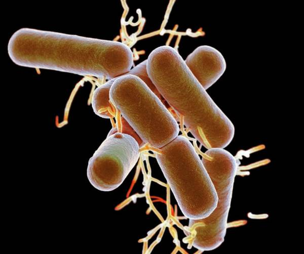Microbe Wall Art - Photograph - Lactobacillus Bacteria by Science Photo Library