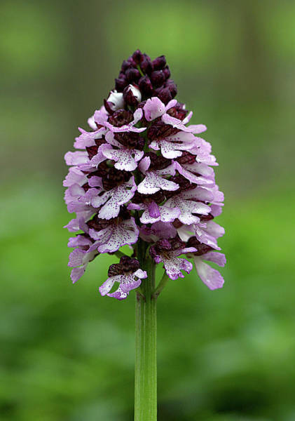 Orchis Photograph - Lady Orchid (orchis Purpurea) by John Devries/science Photo Library