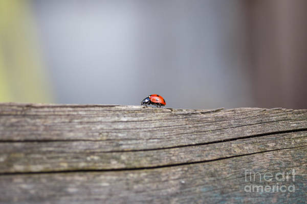 Ostern Wall Art - Photograph - Ladybug by Jannis Werner