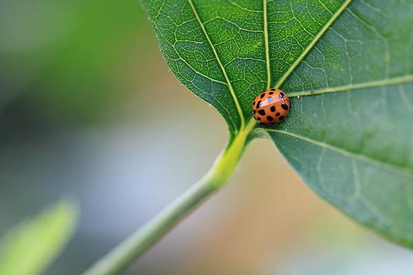 Photograph - Ladybug On A Leaf by Angela Murdock