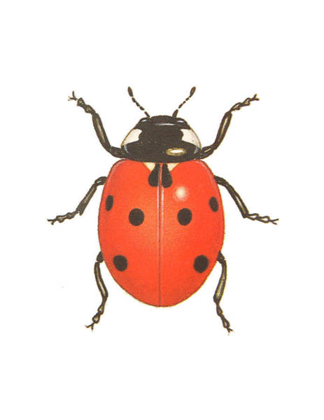 Lady Bug Drawing - Ladybug by Pati Photography