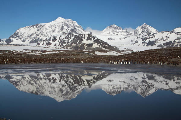 Georgia Photograph - Landscape With King Penguins St. Andrew by Darrell Gulin
