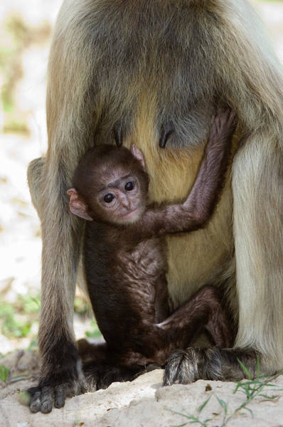 Leaf Monkey Wall Art - Photograph - Langur Monkey Infant by Tony Camacho/science Photo Library