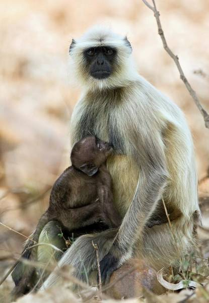 Suckling Wall Art - Photograph - Langur Monkey by John Devries/science Photo Library