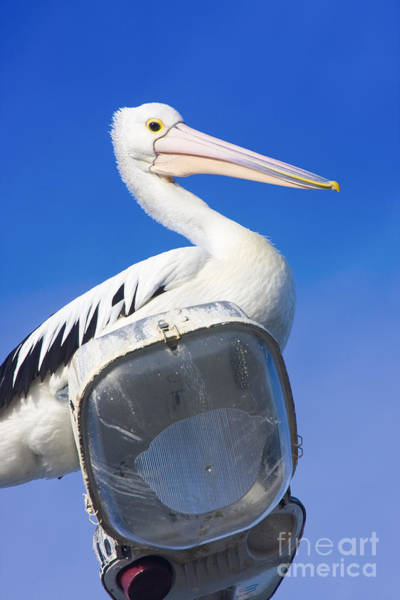 Photograph - Large Australian Pelican by Jorgo Photography - Wall Art Gallery