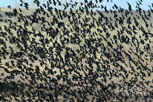 Cowbird Photograph - Large Flock Of Blackbirds And Cowbirds by Mark Newman