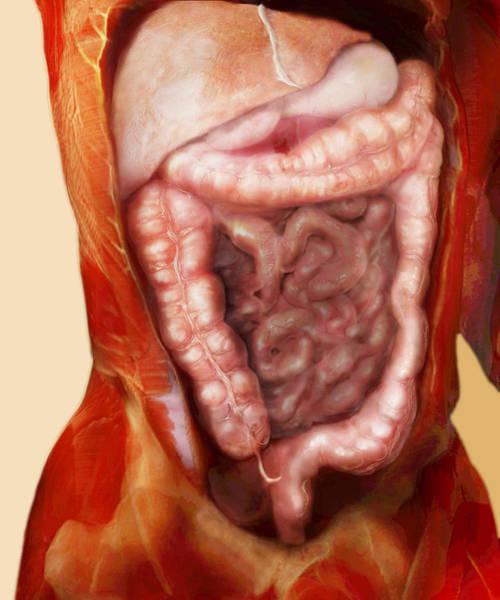 Ceca Wall Art - Photograph - Large Intestine by Anatomical Travelogue