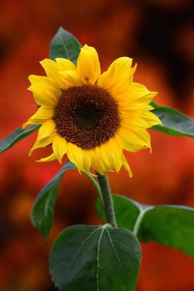 Last Sunflower Art Print