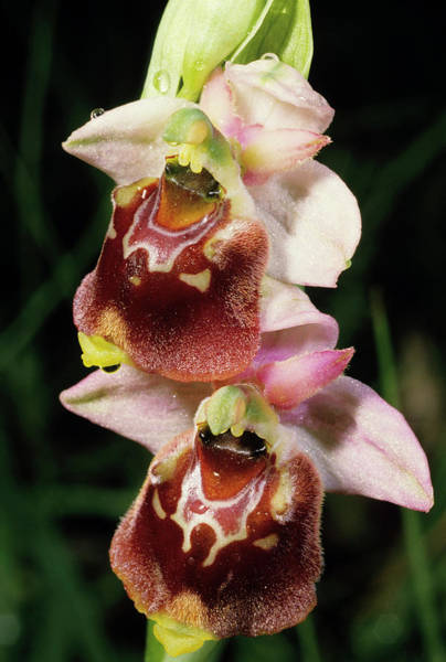 Wall Art - Photograph - Late Spider Orchid Flowers by Paul Harcourt Davies/science Photo Library