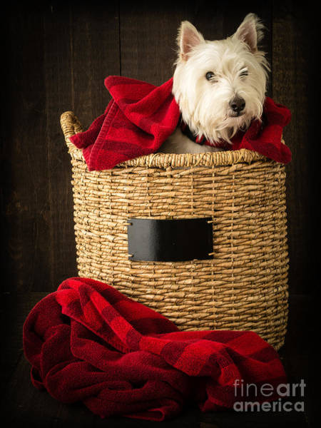 Westie Photograph - Laundry Day by Edward Fielding