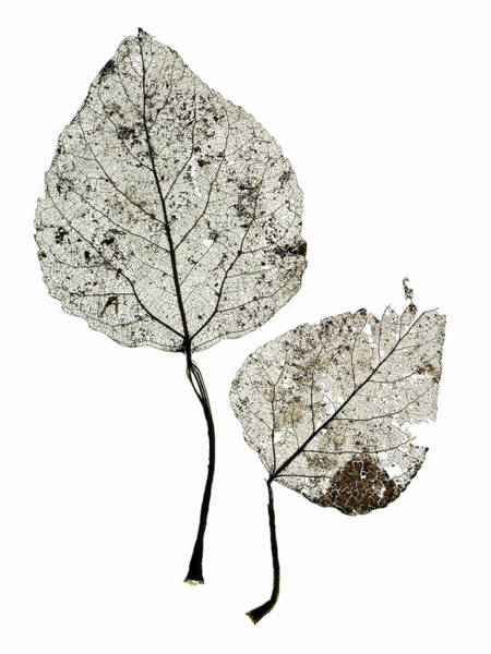Leaf Venation Wall Art - Photograph - Leaf Skeletons by Gustoimages/science Photo Library