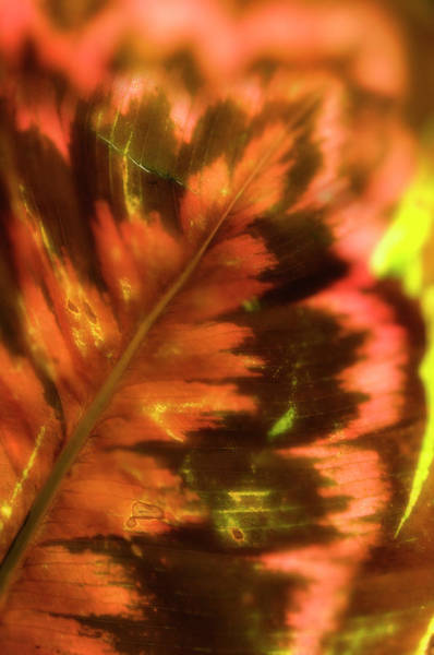 Leaf Venation Wall Art - Photograph - Leaf Veins by Maria Mosolova/science Photo Library