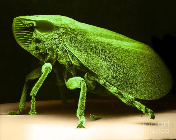 Photograph - Leafhopper Sem by David M Phillips