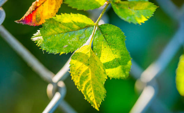 Photograph - Leaves And Fences by Gary Gillette