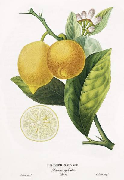Wall Art - Photograph - Lemon Tree Citrus Limon by Natural History Museum, London/science Photo Library