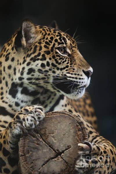 African Tiger Wall Art - Photograph - Leopard  by Anek Suwannaphoom