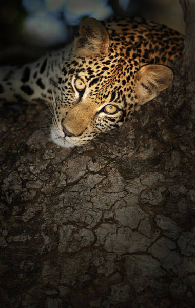 Close-up Photograph - Leopard Portrait by Johan Swanepoel