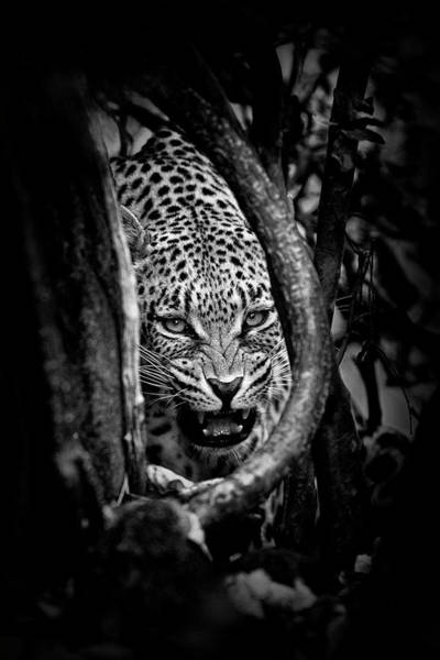Attack Wall Art - Photograph - 'leopard's Lair' by John Moulds