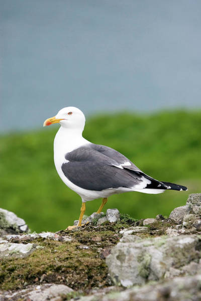 Wall Art - Photograph - Lesser Black Backed Gull by John Devries/science Photo Library