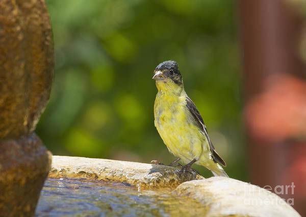 Photograph - Lesser Goldfinch by Dan Suzio