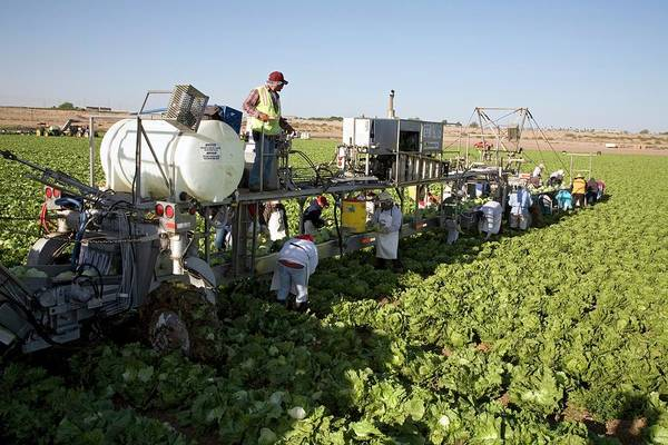 Immigrant Photograph - Lettuce Harvest by Jim West