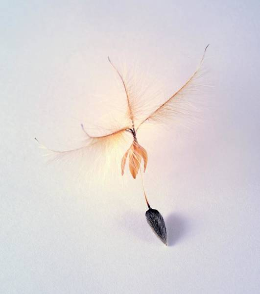 Proteaceae Photograph - Leucadendron Rubrum Seed by Cordelia Molloy