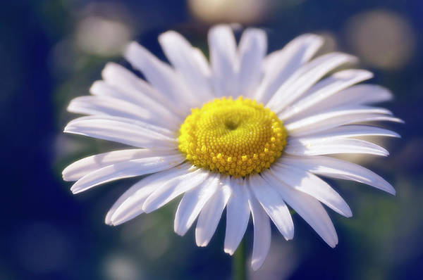 Wall Art - Photograph - Leucanthemum X Superbum 'snow Daisy' by Maria Mosolova/science Photo Library