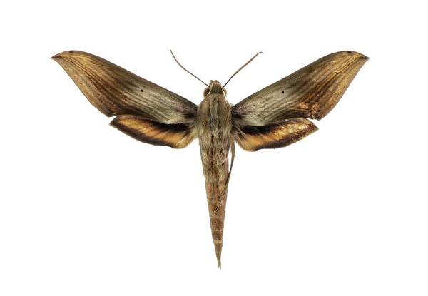 Pollinator Wall Art - Photograph - Libya Sphinx Moth by F. Martinez Clavel