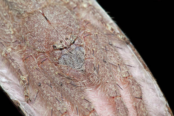 Wall Art - Photograph - Lichen Huntsman Spider With Egg Sac by Melvyn Yeo/science Photo Library
