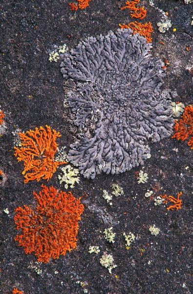 Orange Lichen Photograph - Lichens by Kaj R. Svensson/science Photo Library