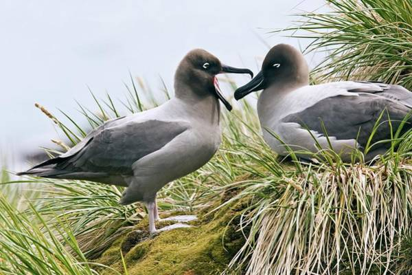 Wall Art - Photograph - Light-mantled Albatrosses by William Ervin/science Photo Library