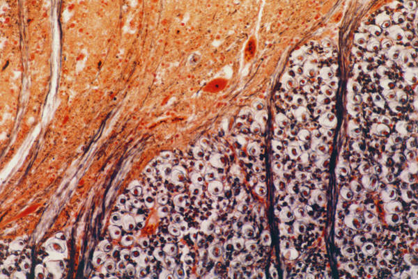 Spinal Cord Photograph - Light Micrograph Of Human Spinal Cord by Astrid & Hanns-frieder Michler/science Photo Library